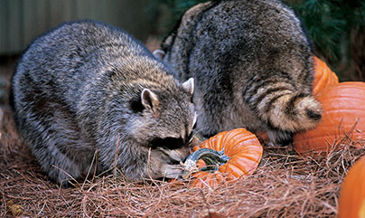 raccoons at ZooAmerica